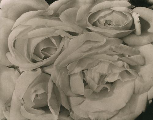 Roses_Modotti_StLascaux_500x392jpg