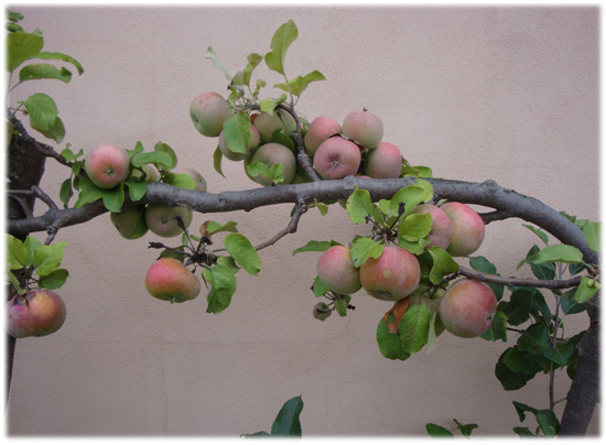 110825_stlascaux_espaliered_apples_hawthorne_valley_c2011